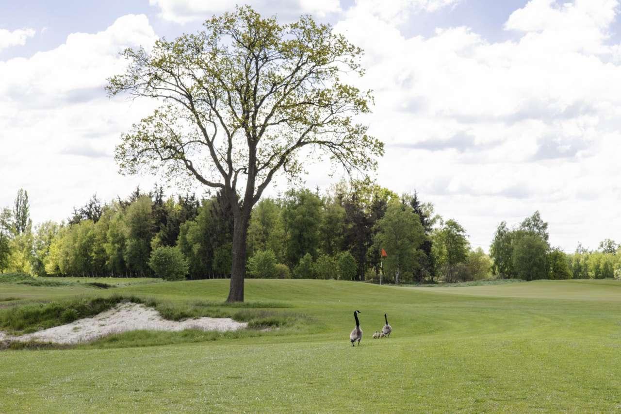 Wildgänse auf dem Golfplatz Lilienthal